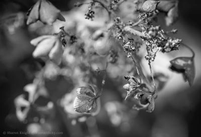 hydrangea-sleep-2