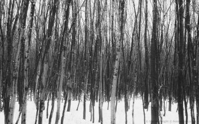 river-birches-2