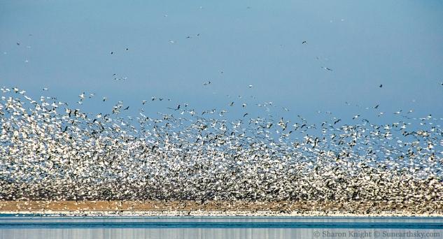 snow-geese-2